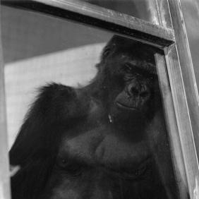 gorilla, 1998-1999, jeongmee yoon . mon torse étrangle mes soupirs
