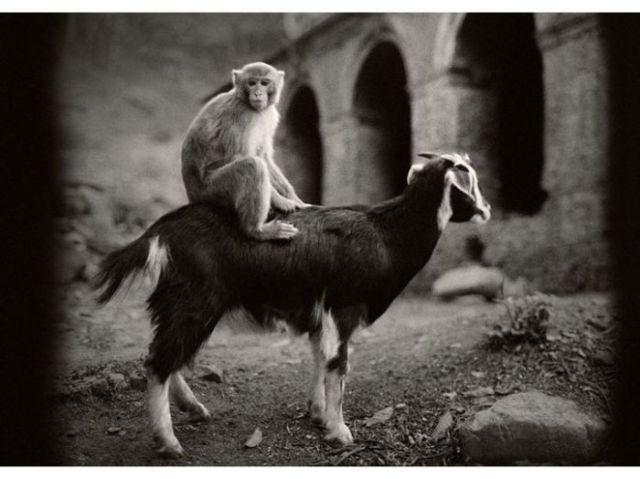 Swayambhunath, Népal (singe sur chèvre) -  Pentti Sammallahti 1994