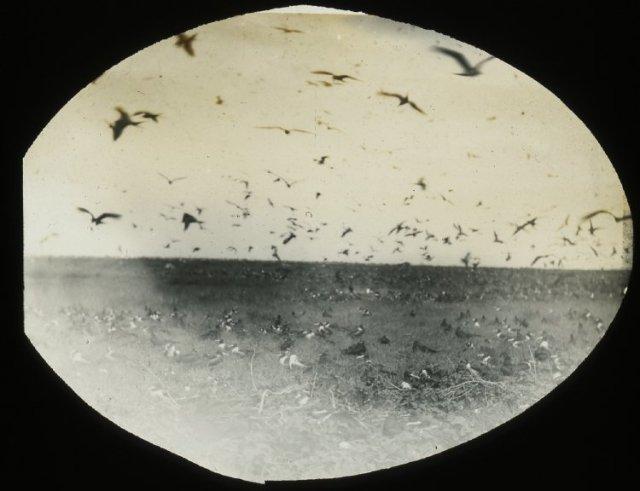 joseph-jackson-lister-frigate-birds-phoenix-islands-kiribatilate-19thc
